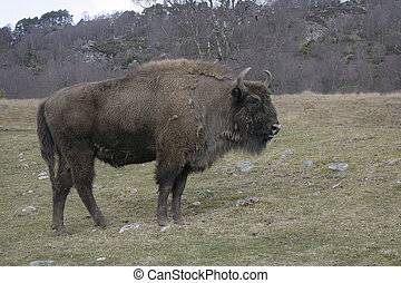 European bison, Bison bonasus, singe mammal on grass