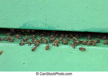 Honeybees at the entrance to a hive