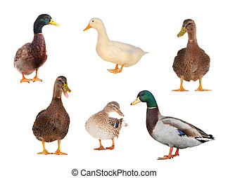 wild duck - duck on a white background