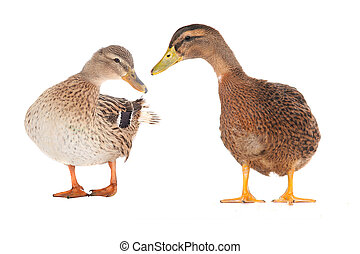 wild duck - two wild duck on a white background