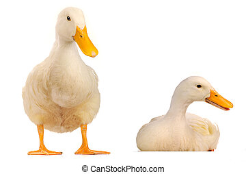 wild duck - two wild duck on a white background