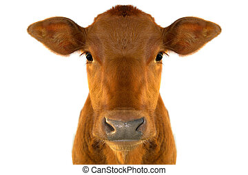 calf - young calf against white background...