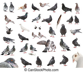 pigeons  - isolated pigeons in different positions