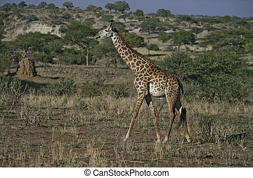 Giraffe, Giraffa camelopardalis, single mammal on grass,...
