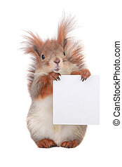squirrel  with sheet for a text writing