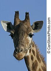 Giraffe, Giraffa camelopardalis, single mammal head shot,...