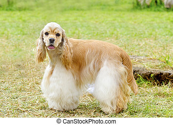 American Cocker Spaniel - A small, young beautiful fawn,...