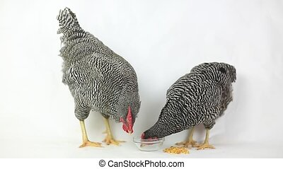 Chickens drinking water on white background