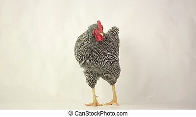Grey cock on white background