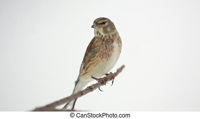 Linnet on a white background