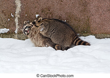 Raccoons play - Two raccoons Procyon lotor play on the snow...