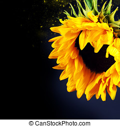 sunflower - Flowers background with beautiful sunflowers