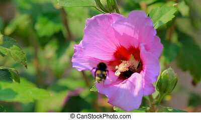 Bumblebee collecting nectar of a pink flower