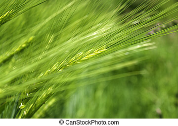 cereal plant - Barley close up with a green background