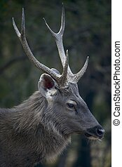 Profile of male sambar deer