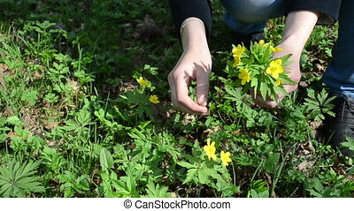 woman pick forest flowers - woman hands pick yellow anemone...