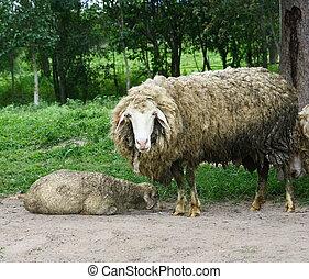 sheep looking at camera  - dirty sheep looking at camera