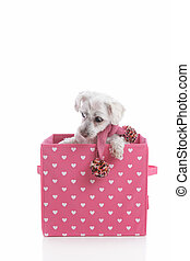 Puppy dog in love heart box - Small white puppy dog wearing...