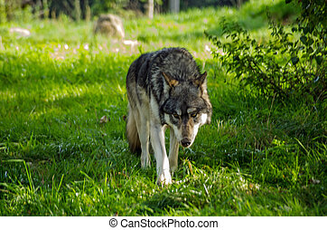European Wolf prowling - A European wolf, latin name Canis...