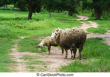 sheep mother and lamb on road