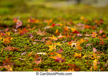orange maple leaves on moss - this photo is taken in Kyoto