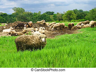 sheep group in greenfield - dirty sheep group in greenfield...