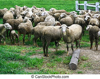 group of sheep - group of dirty sheep in farm