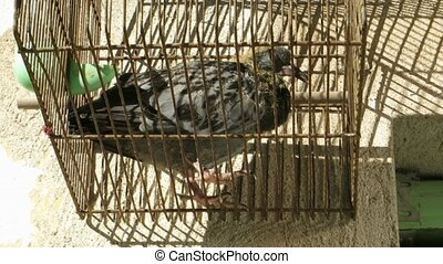 ugly young pigeon in old bird cage