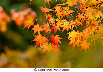 vivid orange maple leaves - this photo is taken in Kyoto