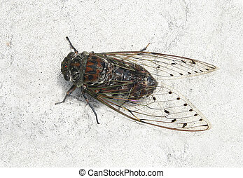Cicada , Thailand  - Cicada on wall , insect in Thailand