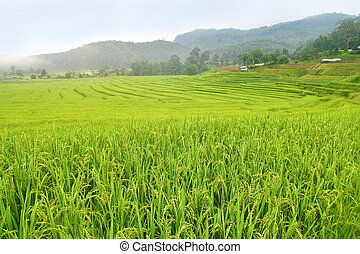 paddy field in Thailand - paddy field in Chiang Mai,...