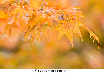 orange and red gradation maple leaf - this photo is taken in...