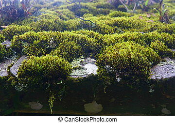moss on roof - many green moss on roof