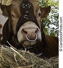 anillo, domesticado, nariz, vaca