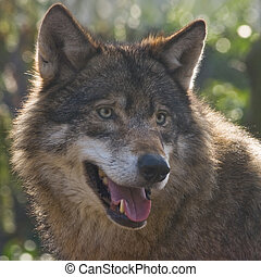 Wolf in winter sun light looking to something