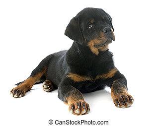 puppy rottweiler - portrait of a purebred puppy rottweiler...