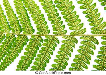 Sporangium on leaf fern closeup