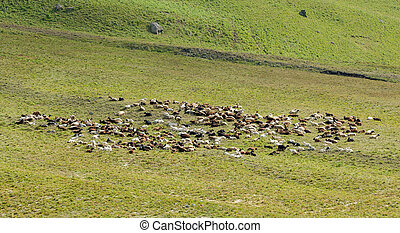 Sheeps and goats in the field - Sheeps and goats resting in...