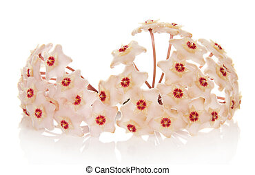 Beautiful waxy ivy blooms with small balls, isolated on...