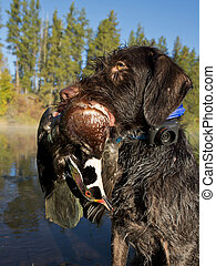 Hunting Dog with a duck - Hunting dog holding a drake wood...