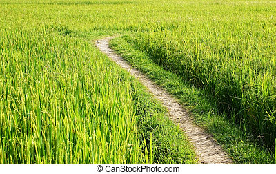 the way on green rice field