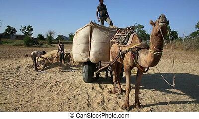 Loading straw onto cart - Loading straw onto camel-driven...