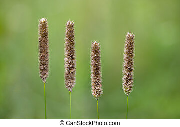 Meadow Foxtail Grass Alopecurus pratensis flowers over green...