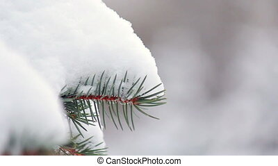 Branch of fir tree in snow