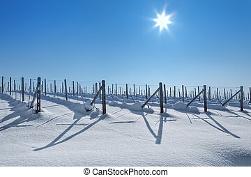 Snowy vineyards under blue sky at sunny day. - Vineyards...