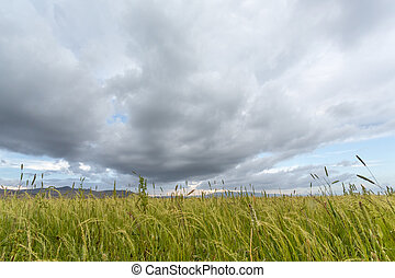 Teff field - Beautiful Eragrostis tef, field native to the...