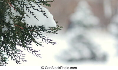 Snowy fir tree in park