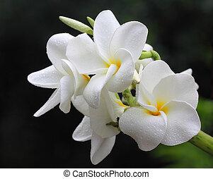 ramo, frangipani