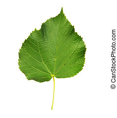 Linden leaf with the veins, isolated on white