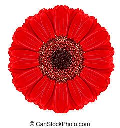 vermelho, Gerbera, Mandala, flor, kaleidoscopic, isolado,...